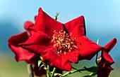 Rosa 'Altissimo' flowers