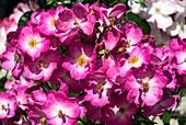 Rosa 'Siesta' flowers