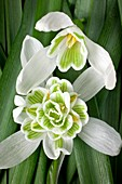 Single and double Snowdrop flowers