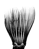 Fishtail palm fronds, X-ray