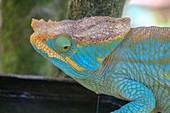 Aquamarine chameleon