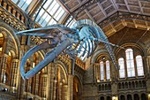 Blue whale 'Hope' in Natural History Museum's Hintze Hall