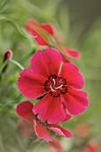Indian Pink (Dianthus chinensis)