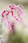 Carnation (Dianthus 'Rainbow Loveliness')