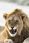 African lion snarling