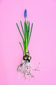 Grape hyacinth (Muscari sp.) flowers