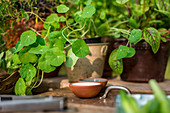 Nasturtium and beetroot leaves in flowerpots