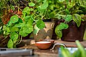 Nasturtium and beetroot leaves in flowerpots
