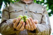 Gardener holding ripe pears