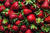 Freshly harvested ripe strawberries