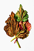 Dried rhubarb leaves with stems