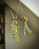 Herbs and hazelnuts hung up to dry