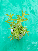 Lemon verbena in a plant pot