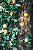 Frische Bauernäpfel mit Blättern