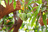 Mangos on the tree