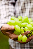 Farmers hands with freshly harvested white grapes