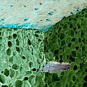 Agave antillorum 150x - Botanik: