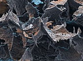 Probiotische Bakt 1300x - Probiotische Bakterien, Lactobacillus paracasei 1300:1