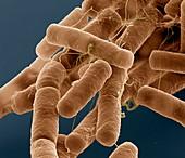B cereus 20kx - Bacillus cereus, 20 000:1