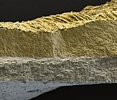 Baenderschnecke 400x - Bänderschnecke, 400:1