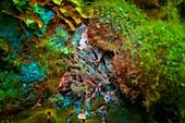 Fluoreszenz bei Meerestieren, Siebanemone