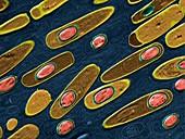 Bacillis anthracis 14kx - Bacillus anthracis, Milzbrand 14 000-1