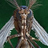 Aedes aegypti A 85x - Stegomyia aegypti, Tiegermücke 85:1