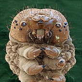 Bombyx mori L 31x - Raupe des Seidenspinners, 31:1