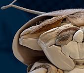 Heptageniidae L 90x - Larve der Eintagsfliege (Heptageniidae) 90:1