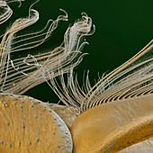 """""""Oligoneuriella rhenana L 100x - """"""""Rheinmücke, Oligoneuriella rhenana Beinbehaarung; 100:1"""""""""""""""