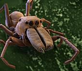 Ameisenspinne 30x - Ameisenspringspinne 30:1