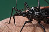 Dipetalogaster maxima bug