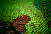 Fluorescent stony coral