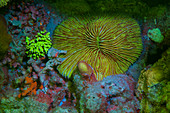 Fluorescent mushroom coral