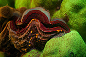 Fluorescent clam and coral
