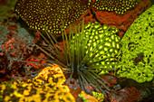 Sea urchin and fluorescent stony corals