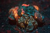 Anemone hermit crab with fluorescent anemones