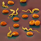 Colour SEM of Trypansoma brucei protozoa in