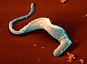 Coloured SEM of a Trypansoma brucei protozoan
