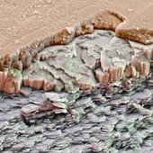 Abalone Bruch 1300x - Seeohr,Bruch 1300x