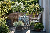 Terrasse mit Stammrosen in weiß und gelb