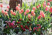 Tulpen 'Apricot Beauty', Tausendschön und Wollziest im Beet