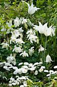Weißes Frühsommer-Beet mit Tulpen und Akelei