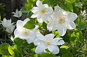 Blüten von Waldrebe 'Mme. Le Coultre'