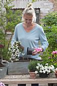 Frau bepflanzt Holzkasten mit Schneeflockenblume 'Big White'