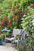 Holzbank zwischen Rosen 'Scharlachglut' und Multiflora