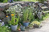 Töpfe mit einjährigen Sommerblumen vor Trockenmauer