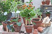 Gartenaurikel 'Bilbo Baggins' und Gemüse-Jungpflanzen