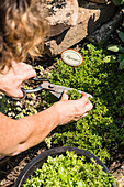 A woman harvesting thyme in a garden