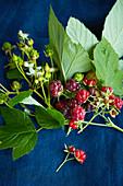 Ein Himbeerzweig mit Blättern, Blüten und Beeren